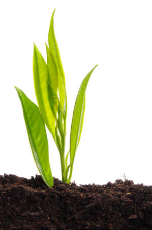 young plant on white with copyspace showing gardening agriculture or growth concept Stock Photo - 7338876