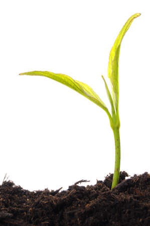young plant on white with copyspace showing gardening agriculture or growth concept Stock Photo - 7403498