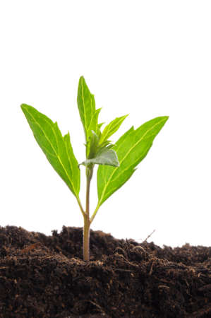 young plant on white with copyspace showing gardening agriculture or growth concept Stock Photo - 7485697