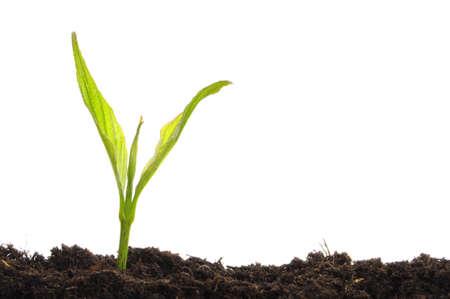 crecimiento planta: planta joven sobre fondo blanco con copyspace mostrando la jardiner�a agricultura o el concepto de crecimiento