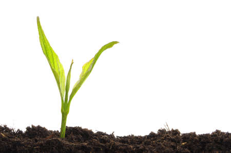 new beginning: young plant on white with copyspace showing gardening agriculture or growth concept