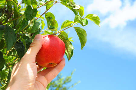 picking red apple from a tree in summer photo