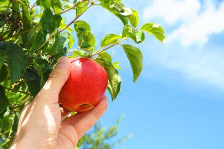 roten Apfel von einem Baum pflücken, im Sommer