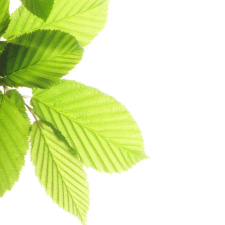 leaf isolated on white background with copyspace Stock Photo - 7534318
