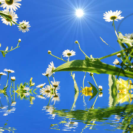 daisy flower and water reflection showing summer concept photo