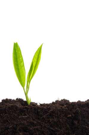 young plant on white with copyspace showing gardening agriculture or growth concept Stock Photo - 7723637