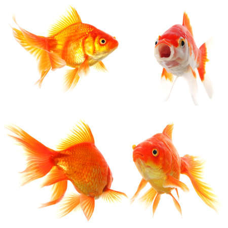 pez dorado: colecci�n de peces dorados aislados en concepto de naturaleza o ecol�gica mostrando blanco