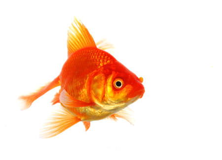 goldfish isolated on white showing success or job search concept Stock Photo - 7763854