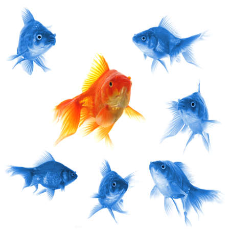 directions: goldfish showing leader individuality success or motivation concept