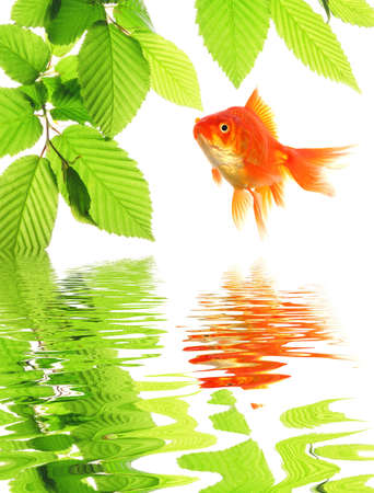 goldfish and green leaves with water reflection showing nature or spa concept photo