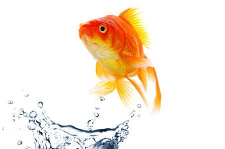 goldfish jumping with water splash isolated on white background photo