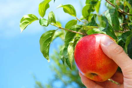 Rode appel van een boom plukken in de zomer