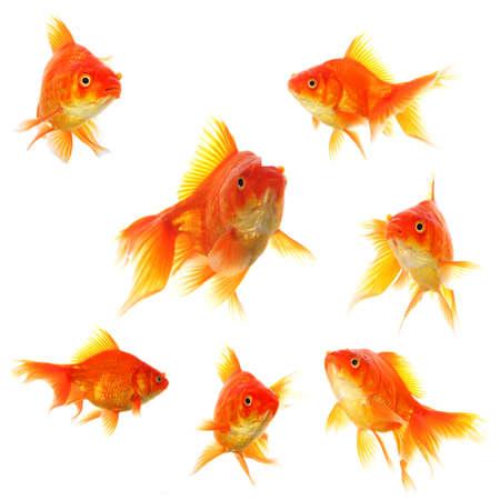 złota rybka: ZÅ'ota Rybka kolekcji lub grupy lub ryby samodzielnie na biaÅ'ym tle Zdjęcie Seryjne