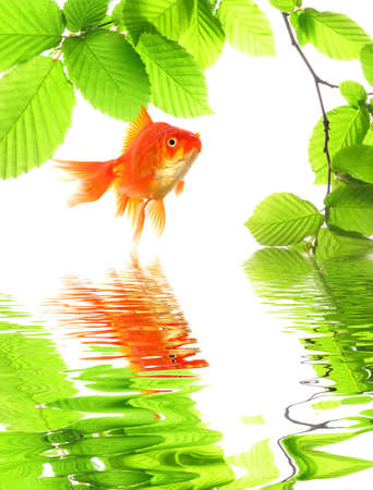 goldfish in nature with summer leaves and water reflection showing eco ecology or environment concept Stock Photo - 7795041