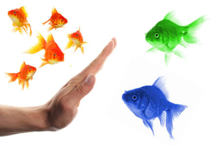 pez dorado: discriminante concepto de racismo o la intolerancia de outsider con peces dorados y mano  Foto de archivo