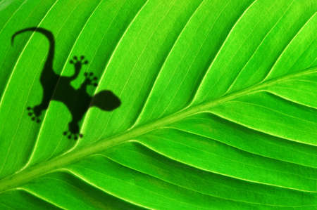 green jungle leaf with gecko shadow showing rainforest or nature concept Stock Photo - 7820813