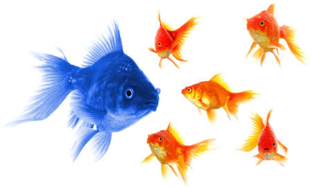 fishtank: individual success winner outsider boss or motivation concept with goldfish isolated on white Stock Photo