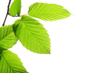 green leaves isolated on white background with copyspace Stock Photo - 7820890