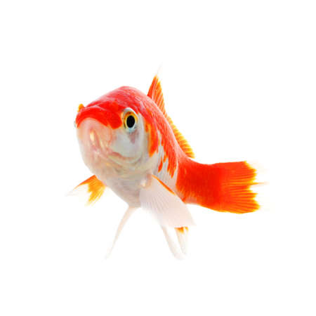 lonelyness: swimming single goldfish isolated on white showing lonelyness concept