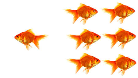 outsider: individual success winner outsider boss or motivation concept with goldfish isolated on white Stock Photo