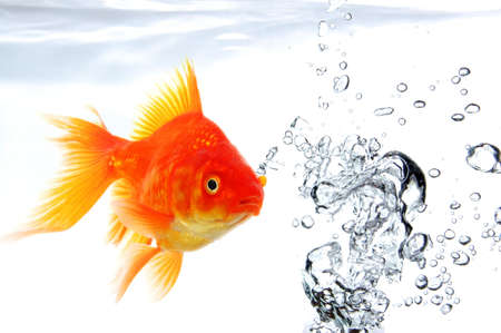 goldfish swimming in water or fishtank with air bubbles  photo