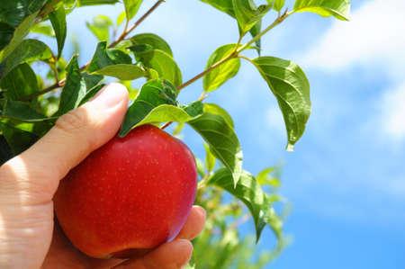 manzana roja: manzana roja sobre el �rbol y el concepto de comida sana de mostrando de mano  Foto de archivo