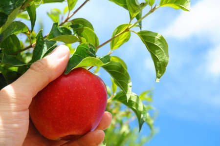 red apple on tree and hand showing healthy food concept photo