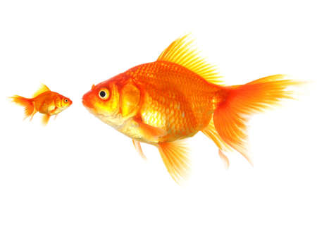 large and small goldfish showing different competition or friendship concept photo