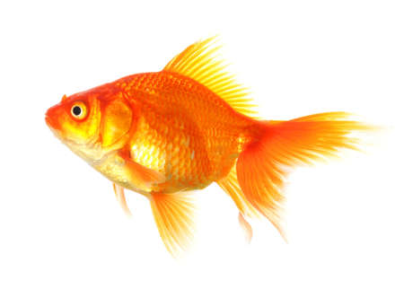 fishtank: swimming single goldfish isolated on white showing lonelyness concept