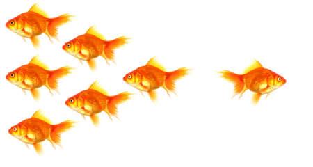 goldfishes: singoli di successo vincitore outsider sporgenza o motivazione concetto con goldfish isolato on white Archivio Fotografico
