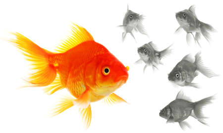 goldfish showing leader individuality success or motivation concept Stock Photo - 7974088