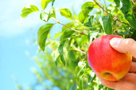 albero di mele: mela rossa su un albero e la mano mostrando cibo sano concetto