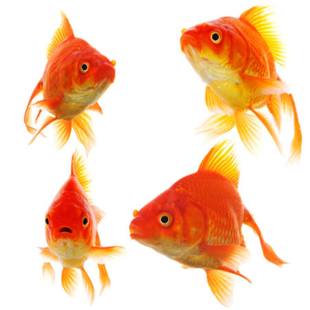 goldfish collection or group or fishes isolated on white background photo