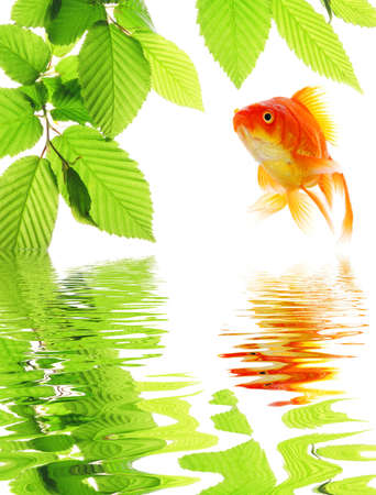 goldfish in nature with summer leaves and water reflection showing eco ecology or environment concept photo