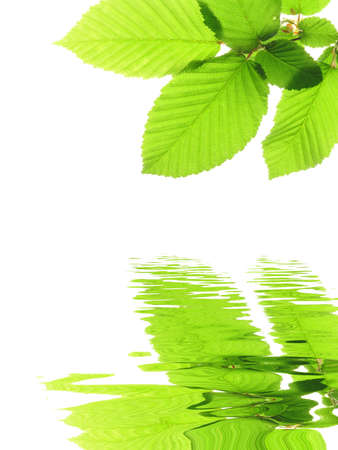water on leaf: green summer leaves and water reflection with copyspace