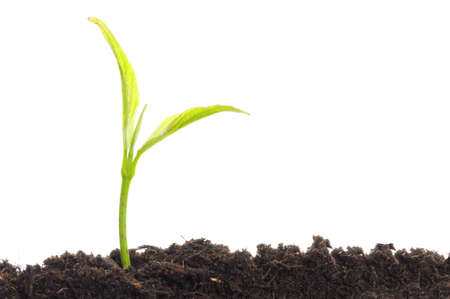 young plant on white with copyspace showing gardening agriculture or growth concept Stock Photo - 8046315