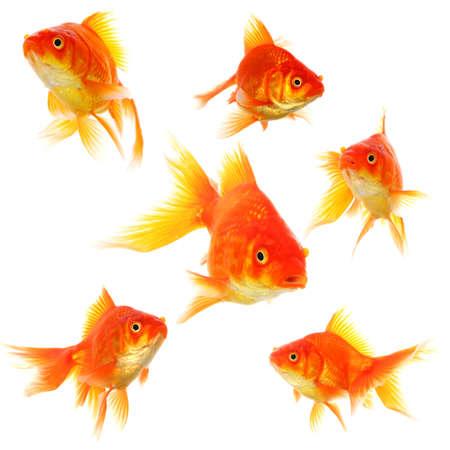 pez dorado: colecci�n de peces dorados aislados en concepto de naturaleza o ecol�gica mostrando blanco Foto de archivo