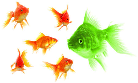 standing out of the crowd concept with individual successful goldfish Stock Photo - 8067181