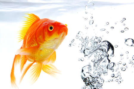 fish spa: goldfish under water with bubbles and copyspace on white