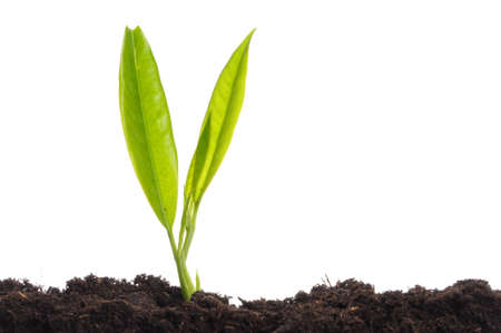 young plant on white with copyspace showing gardening agriculture or growth concept Stock Photo - 8183161