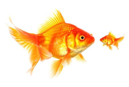 pez dorado: Carassius auratus grandes y pequeñas mostrando competencia o amistad concepto diferente Foto de archivo