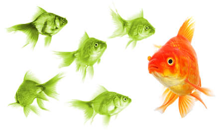 individual success winner outsider boss or motivation concept with goldfish isolated on white photo
