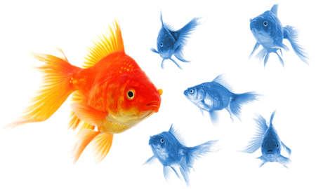 peces de colores: �xito individual ganador forastero jefe o motivaci�n el concepto con peces dorados aislados en blanco