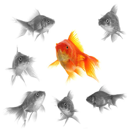 standing out of the crowd concept with individual successful goldfish Stock Photo - 8399483