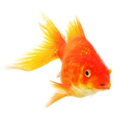 lonelyness: goldfish isolated on white showing success or job search concept