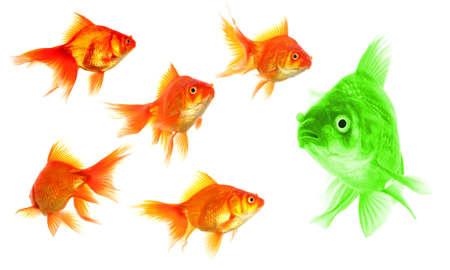 discriminacion: Carassius auratus mostrar discriminación éxito individualidad liderazgo o motivación el concepto de