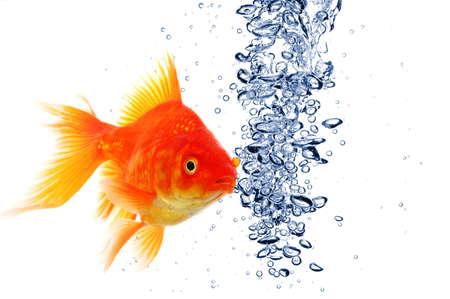 cisterne: pesce rosso sotto l'acqua con le bollicine e copyspace su bianco