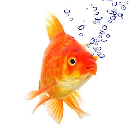 peces de colores: peces dorados y burbujas aisladas sobre fondo blanco Foto de archivo