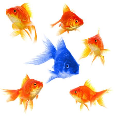 goldfishes: Goldfish mostrando discriminazione successo individualit� leadership o motivazione concetto Archivio Fotografico