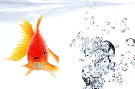 fishtank: swimming goldfish in fishtank with water or air bubbles